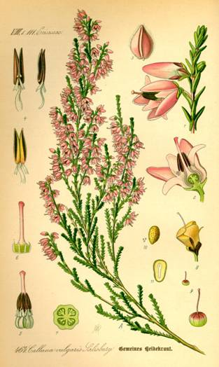 Illustration_Calluna_vulgaris0.jpg